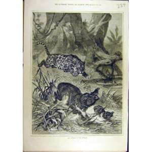1881 Attack Jungle Leopard Boar Wild Animal Sport Print