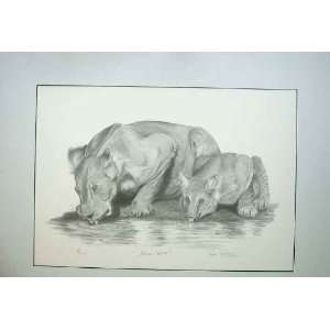 Edition Lion Cub Water Wild Animal Nature Print