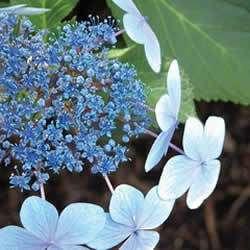 Hydrangea, Blue Bird, Blue flowers, ONE 1 gallon plant