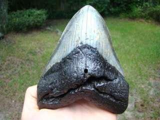 MEGALODON shark tooth teeth fossil BIG OL WIDE TOOTH