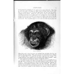 NATURAL HISTORY 1893 94 HEAD CHIMPANZEE WILD ANIMAL