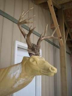 WHITETAIL DEER RACK Antlers mule mount taxidermy elk cape moose sheds