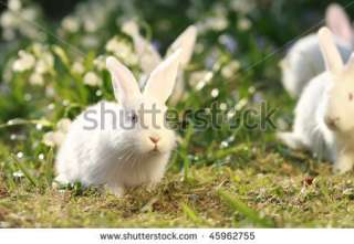 Group White Albino Rabbits On Early Spring Meadow Background, Snow